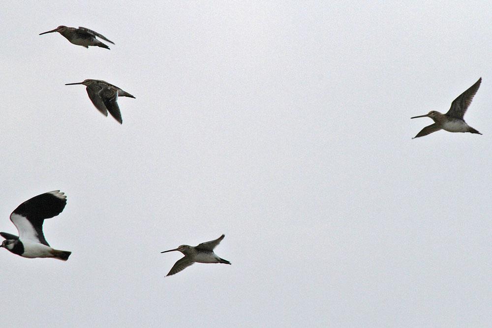 Von der Rohrweihe aufgeschreckt, fliegen einige Bekassinen und Kiebitze ein paar Runden, bevor sie wieder in den Feuchtwiesen einfallen...am 30.03.13 Foto: Gregor Zosel