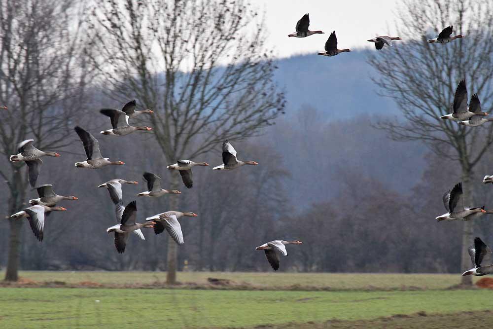 Stets Bewegung bei den Gänsen. Hier wechseln Blässgänse und Graugänse von einem Feld zum anderen.....am 27.02.13 Foto: Gregor Zosel