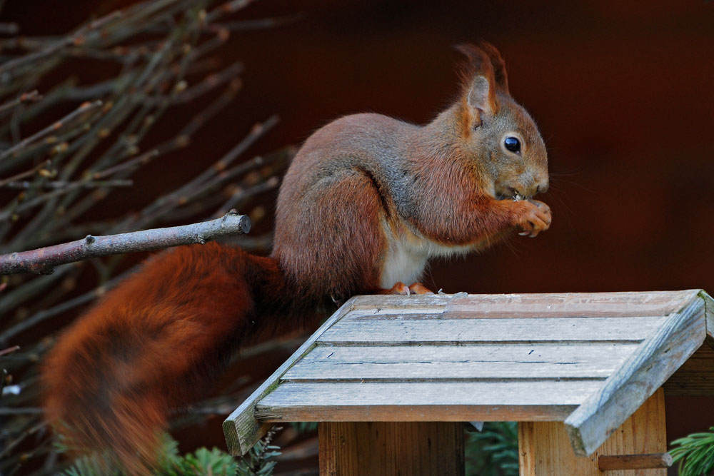 -Geht aufs Haus-  im eigenen Garten lässt sich wieder mal ein Eichhörnchen blicken... am 25.03.2013 Foto: Marvin Lebeus