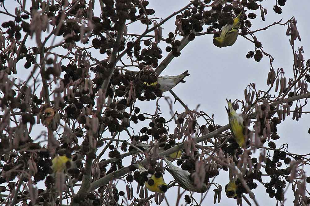 Wie Früchte hängen die Erlenzeisige in den Baumwipfeln der Erlen an der Rammbachmündung...am 27.01.13 Foto: Gregor Zosel