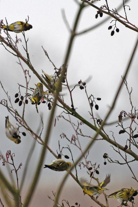 Anderer Vogel, gleiches Spiel. Die Erlenzeisige waren von meiner Anwesenheit nicht eingeschüchtert, laut Literatur sind sie auch weniger scheu... am 26.02.2013 Foto: Marvin Lebeus