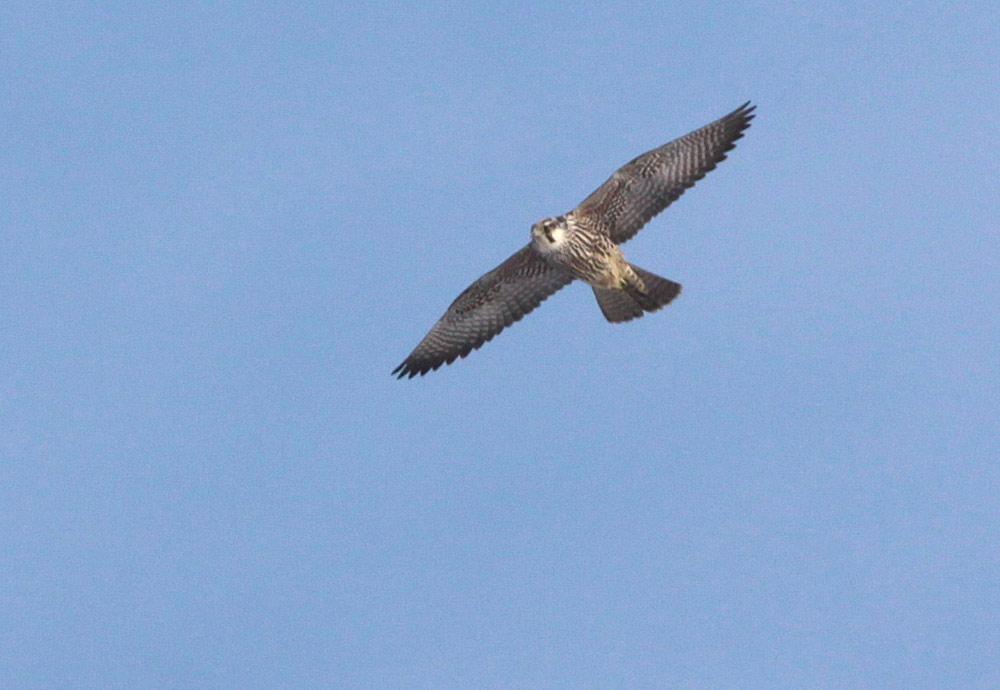 ...mit der fast filigranen Kopfzeichnung erinnert der nordische Wanderfalke (Falco peregrinus calidus / vorjährig) sehr an einen großen Baumfalken, 26.01.2013 Foto: Bernhard Glüer