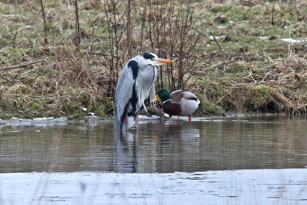 Gleich nebenan bevorzugt dieser Graureiher lieber die flachen Gewässer .....am 27.02.13 Foto: Gregor Zosel