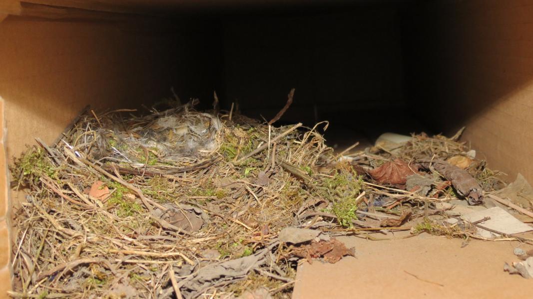 Hausrotschwanz-Nest in einem Industriebetrieb in  Unna am 19.04.2013 Foto: Alfred Haberschuss