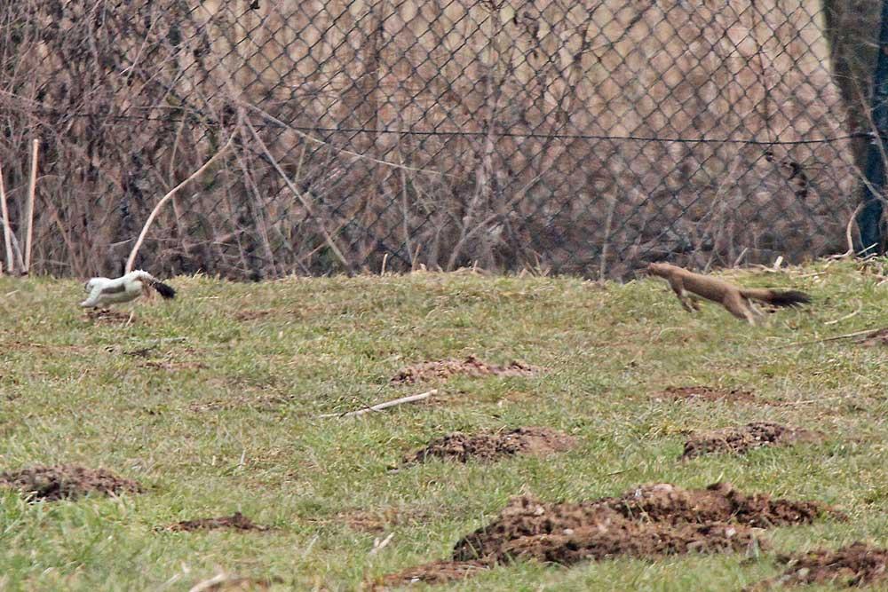 Auch bei den Hermelinen gehts es hoch her. Während das eine Ex. schon das Sommerfell trägt, ist das andere Ex. noch bestens für das angekündigte Osterwetter im Winterkleid getarnt...am 29.03.13 Foto: Gregor Zosel