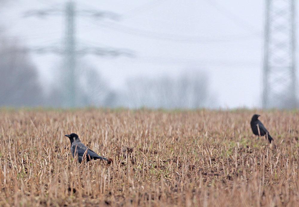Links die bereits bekannte Hybridkrähe nahe dem Heerener Holz, 28.02.2013 Foto: Bernhard Glüer
