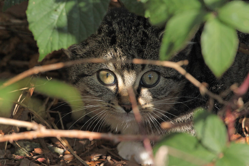Mit stechendem Blick - keine Wildkatze - aber eine wilde Katze im Hemmerder Schelk, 31.10.2013 Foto: Bernhard Glüer