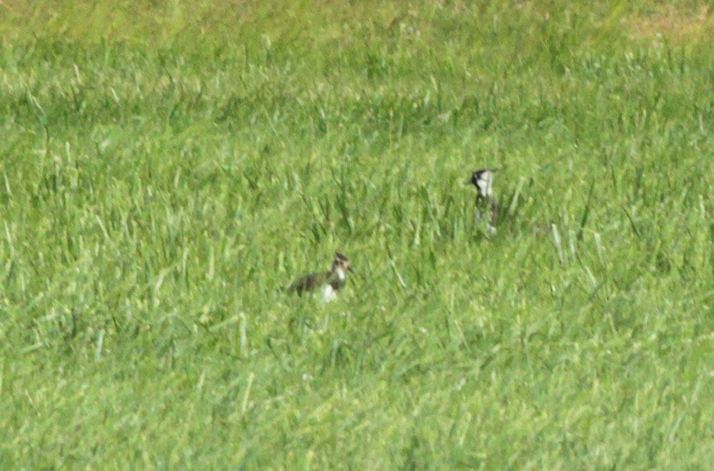 Auf der schon nachwachsenden Mähwiese (Hemmerder Wiesen) kaum zu erkennen: eines von 2 fast flüggen Kiebitzküken mit der Mutter im Hintergrund, 20.06.2013 Foto: Bernhard Glüer