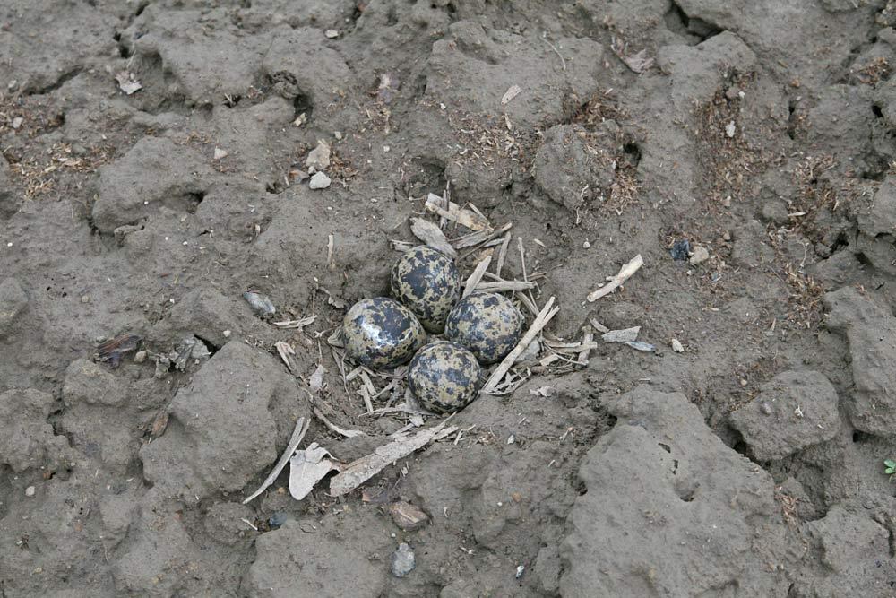 ...deutlich genug, damit der Landwirt bei der Feldarbeit das Gelege sieht - doch auch vorsichtig genug, damit der Brutvogel zum Gelege zurückkehrt, 27.04.2013 Foto: Bernhard Glüer