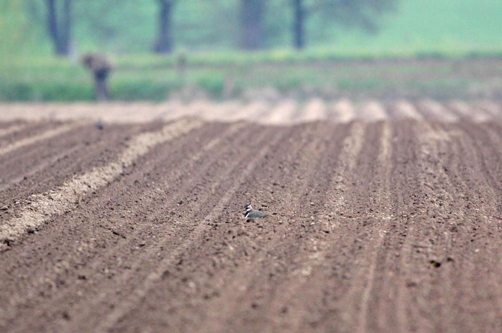 Neues Kiebitzgelege in frisch eingesäter Maisfläche (Hemmerder Ostfeld), 28.04.2013 Foto: Bernhard Glüer