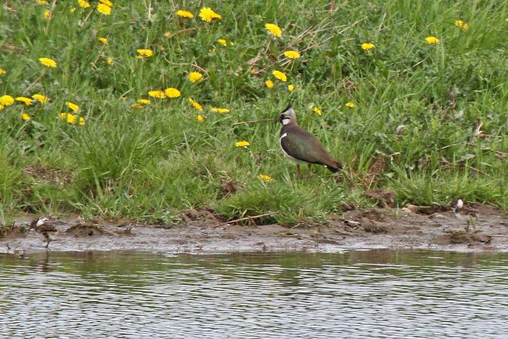 Hier 2 kleine Pullis bei einem Elternteil am Gewässersaum.....am 11.05.13 Foto: Gregor Zosel