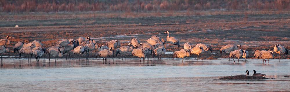 Kurz nach Sonnenaufgang im Seseke-Hochwasser-Rückhaltebecken (Bönen) ein Schwarm Kraniche, der hier genächtigt hat - teils noch schlafend (rechts 2 Kanadagänse), 05.03.2013 Foto: Bernhard Glüer