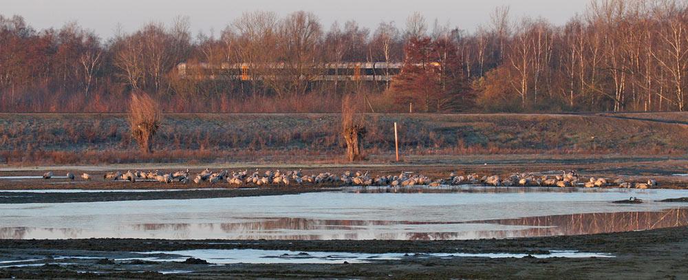 Kurz nach Sonnenaufgang im Seseke-Hochwasser-Rückhaltebecken (Bönen) ein Schwarm Kraniche, der hier genächtigt hat - teils noch schlafend, 05.03.2013 Foto: Bernhard Glüer