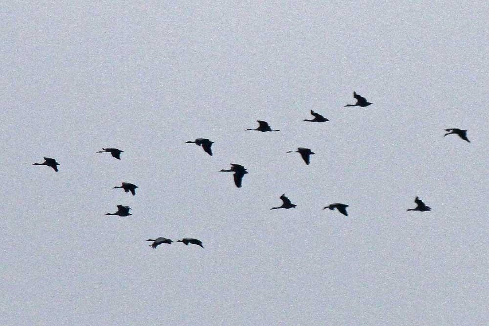Mit eingezogen Beinen flogen heute die meisten Kraniche in der Eiseskälte...am 11.03.13 Foto: Gregor Zosel