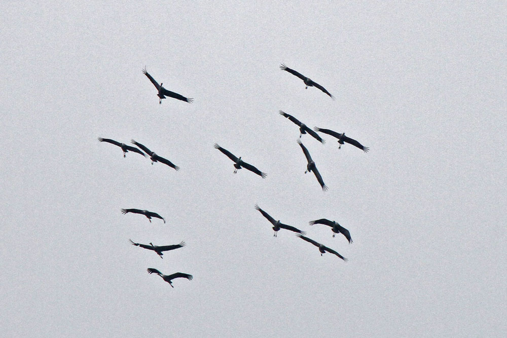 Kranich schrauben sich über der Kiebitzwiese in die Höhe. Sie kamen wieder mal aus der Schwittener Feldflur südlich des Ententeichs...am 31.03.13 Foto: Gregor Zosel