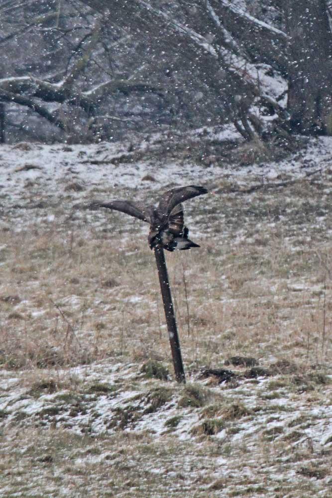 Im dichten Schneetreiben schwer zu erkennen ist die Kopulation der Mäusebussarde...am 29.03.13 Foto: Gregor Zosel