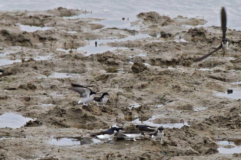 Immer mehr Mehlschwalben entdecken die Schlammflächen der Kiebitzwiese als Baumaterialquelle.....am 11.05.13 Foto: Gregor Zosel