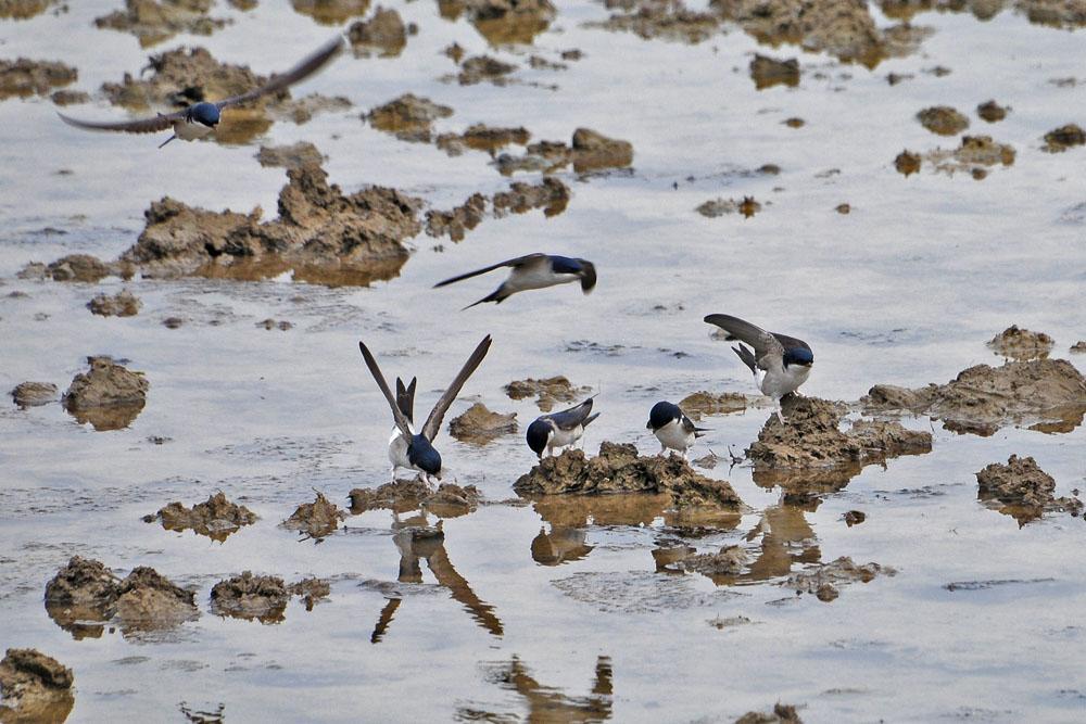 ...die Mehlschwalben hingegen, sind noch tatkräftig bei der Arbeit... am 08.05.2013 Foto: Marvin Lebeus