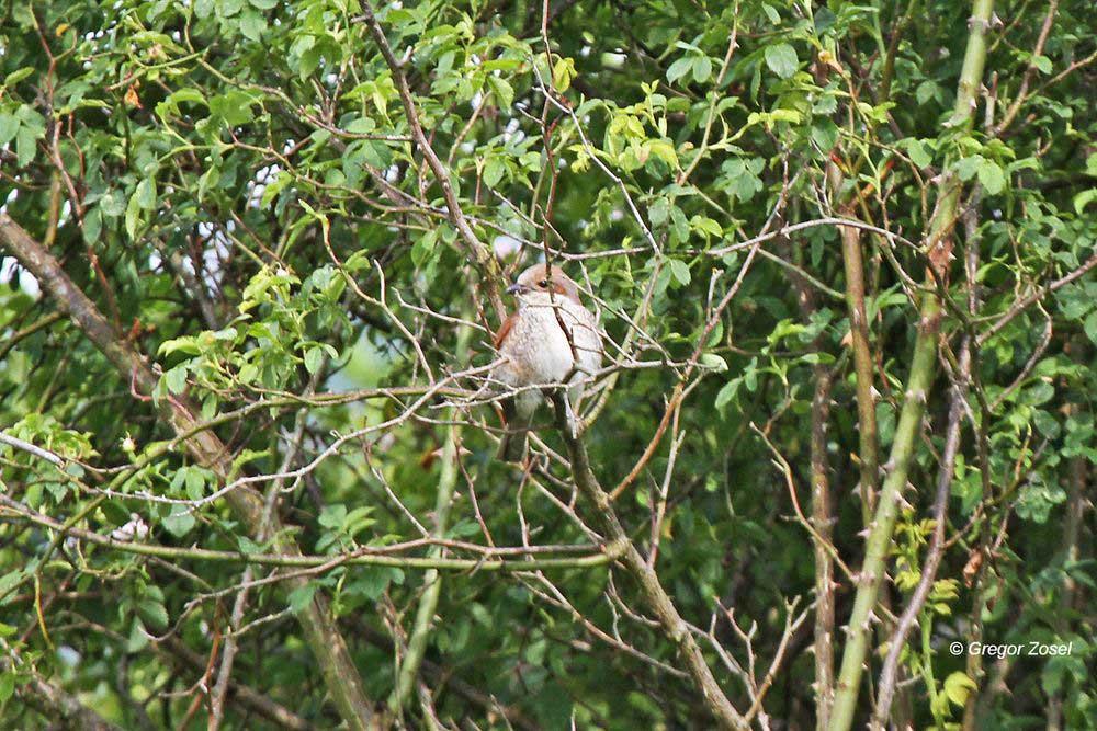 Das Weibchen sitzt versteckt im Busch....am 01.07.13 Foto: Gregor Zosel