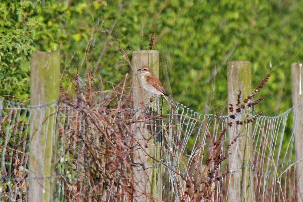 ....wagt sich das Weibchen bis zum Zaun am Wanderweg.......am 19.05.13 Foto: Gregor Zosel