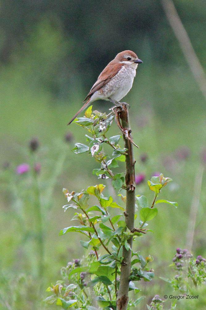 Das Weibchen sitzt inmitten der Fläche nahe der Hecke, wo es für den Nachwuchs nach Insekten jagt...am 26.06.13 Foto: Gregor Zosel