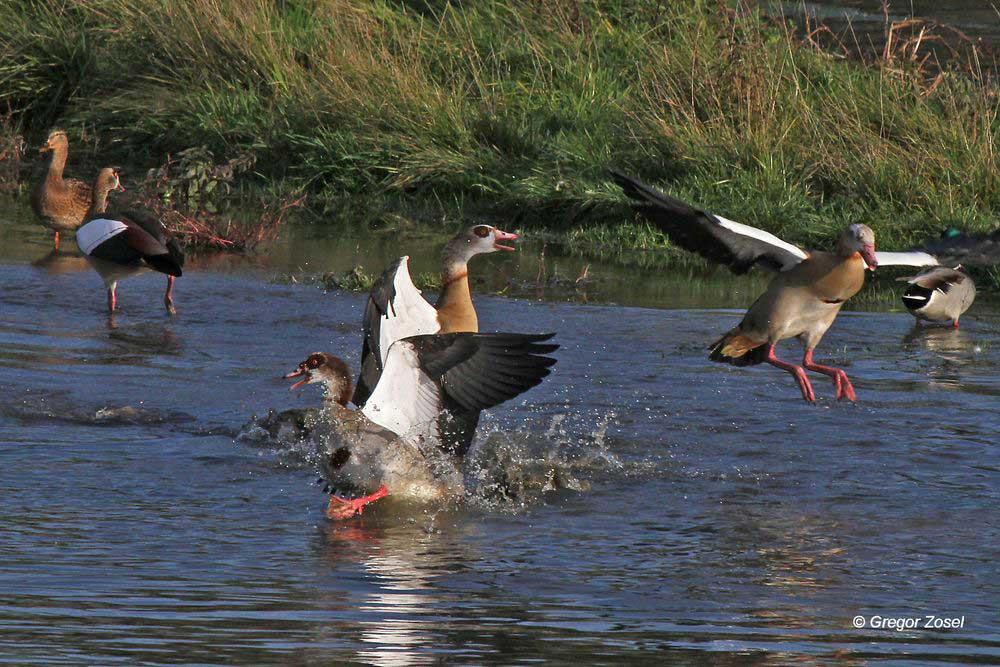 Revierkampf bei den Nilgänsen. Temperaturen über 20 Grad wecken Frühlingsgefühle bei manchen Tieren...am 22.10.13 Foto: Gregor Zosel