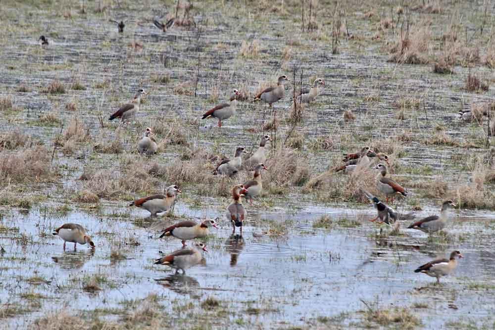 Die neu entstandene Feuchtwiese ist auch bei den Nilgänsen sehr beliebt...am 31.03.13 Foto: Gregor Zosel