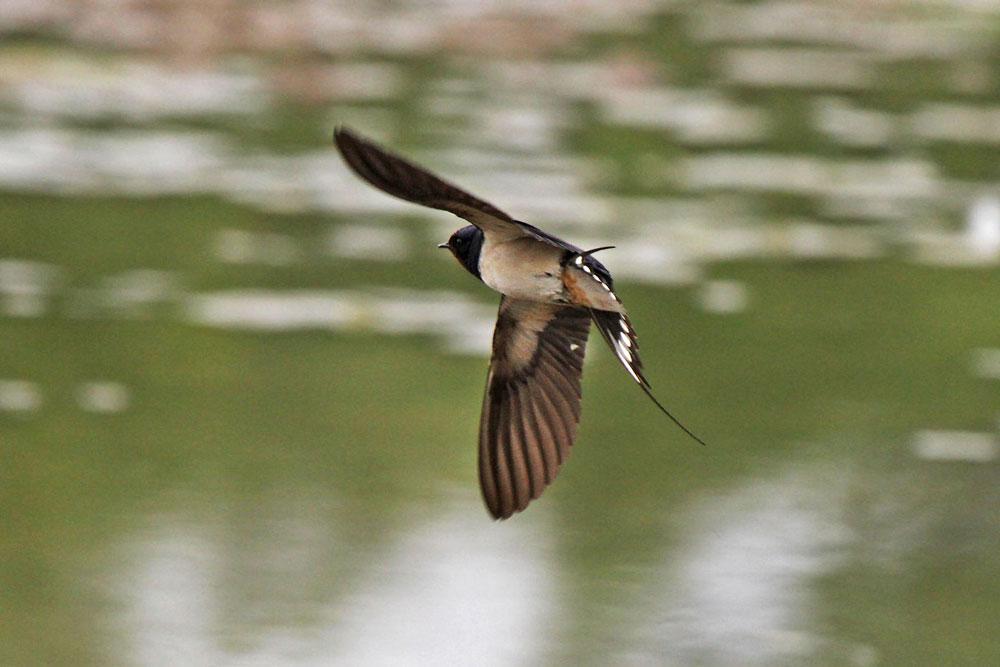 Bei dem kalten und regnerischem Wetter finden die Schwalben knapp über den Wasserflächen die meisten Insekten...am 23.05.13 Foto: Gregor Zosel