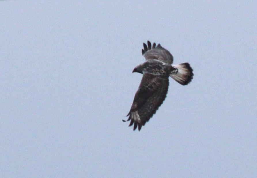 Hier ein weiterer Jungvogel, der sich durch die Schwanzendbinde vom vorigen Jungvogel unterscheidet, 31.03.2013 Foto: Bernhard Glüer