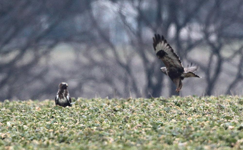 Ebenfalls typisch für adulte Weibchen ist ein auffallend dunkler Bauch - hier also zwei Weibchen gleichzeitig, 31.03..2013 Foto: Bernhard Glüer