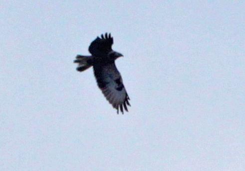 Sehr hoch am Himmel kreisend - dann abstreichend vermutlich ein dritter Jungvogel mit stark beschädigten Handschwingen (links) und Schäden im Schwanz, 31.03.2013 Foto: Bernhard Glüer