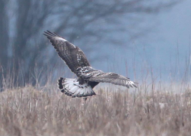 Das adulte Weibchen ist durch eine sehr breite Endbinde im Schwanz gekennzeichnet, 31.03.2013 Foto: Bernhard Glüer