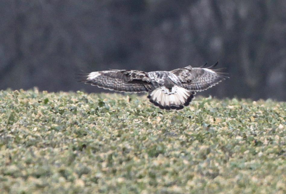 Typisch für Jungvögel sind der noch cremefarbene Schwanz mit diffuser Endbinde und helle Flügelfelder, 31.03.2013 Foto: Bernhard Glüer