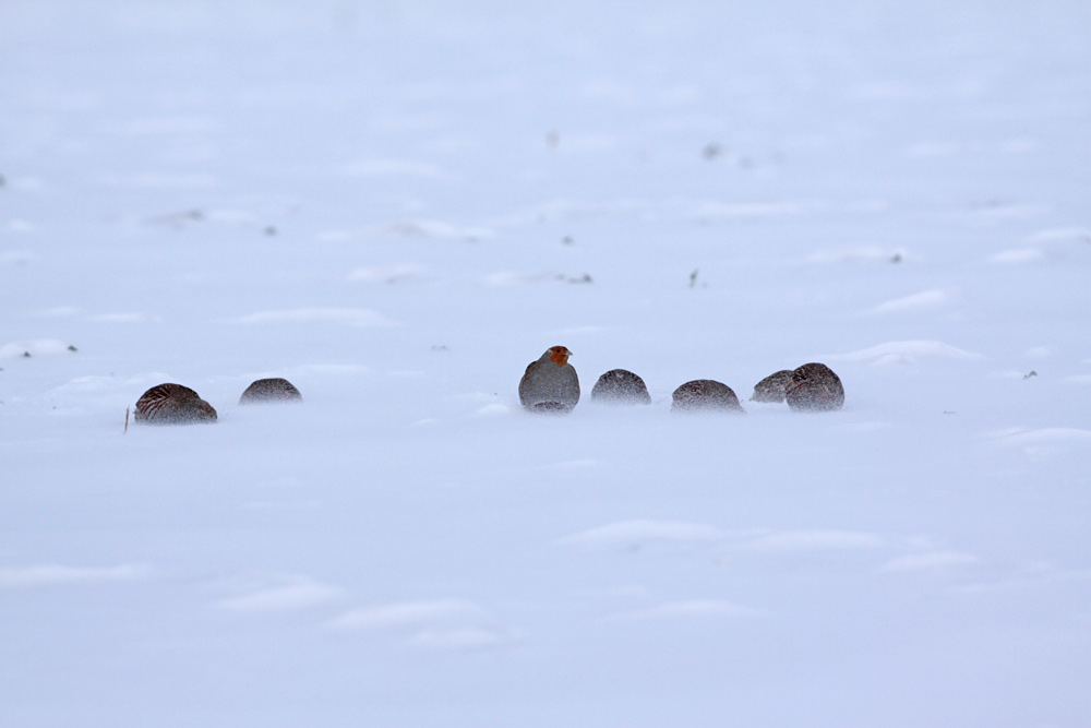 Die Rebhühner trotzen dem eisigen Wind mit fliegendem Schneegriesel (nahe Ostbüren), 26.01.2013 Foto: Bernhard Glüer