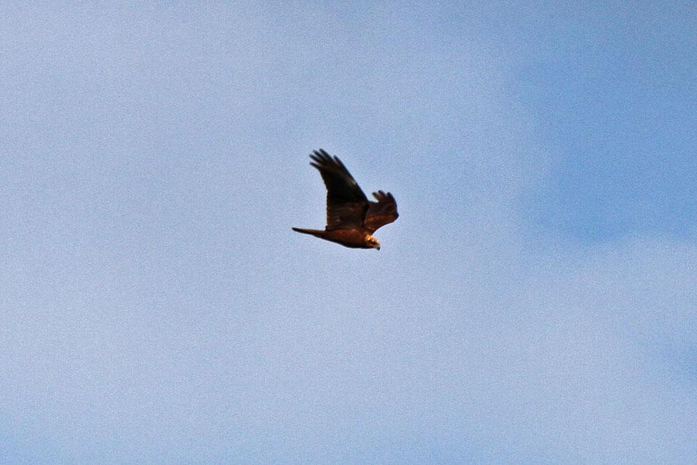 Rohrweihenweibchen jagend über der Vernässungsfläche...am 11.05.13 Foto: Gregor Zosel