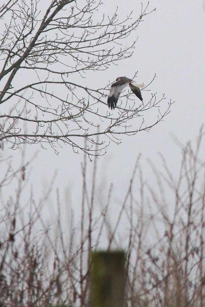 Rohrweihe gaukelt über östliche Vernässungsfläche, bevor sie Richtung NO abzieht..am 29.03.13 Foto: Gregor Zosel