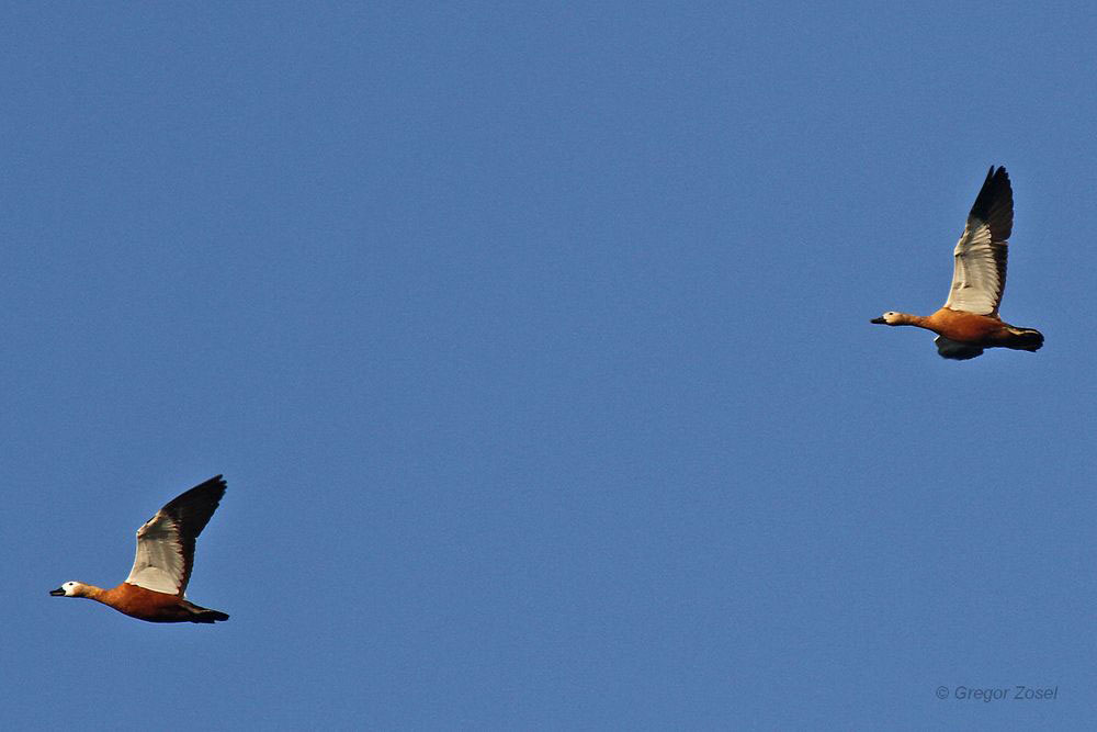 Rostgänse überfliegen die Kiebitzwiese....am 27.07.13 Foto: Gregor Zosel