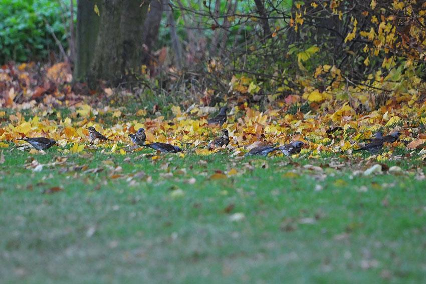 Auf 10 Drosseln kommen 9 Wacholderdrosseln und 1 Rotdrossel (2te von links) am 25.11.2013 Foto: Marvin Lebeus