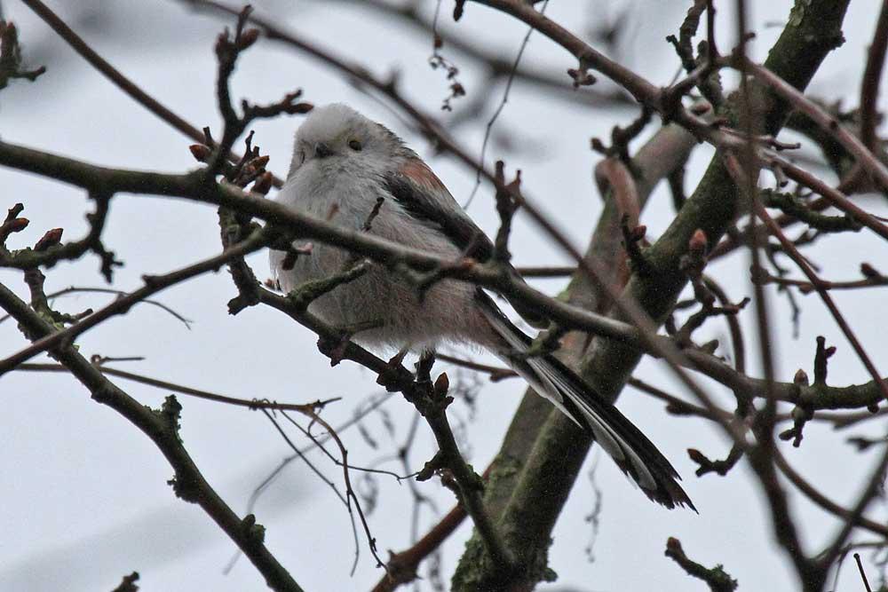 Während in den Hemmerder Wiesen die weißköpfige Schwanzmeise mit dem Nestbau beschäftigt ist......am 29.03.13 Foto: Gregor Zosel