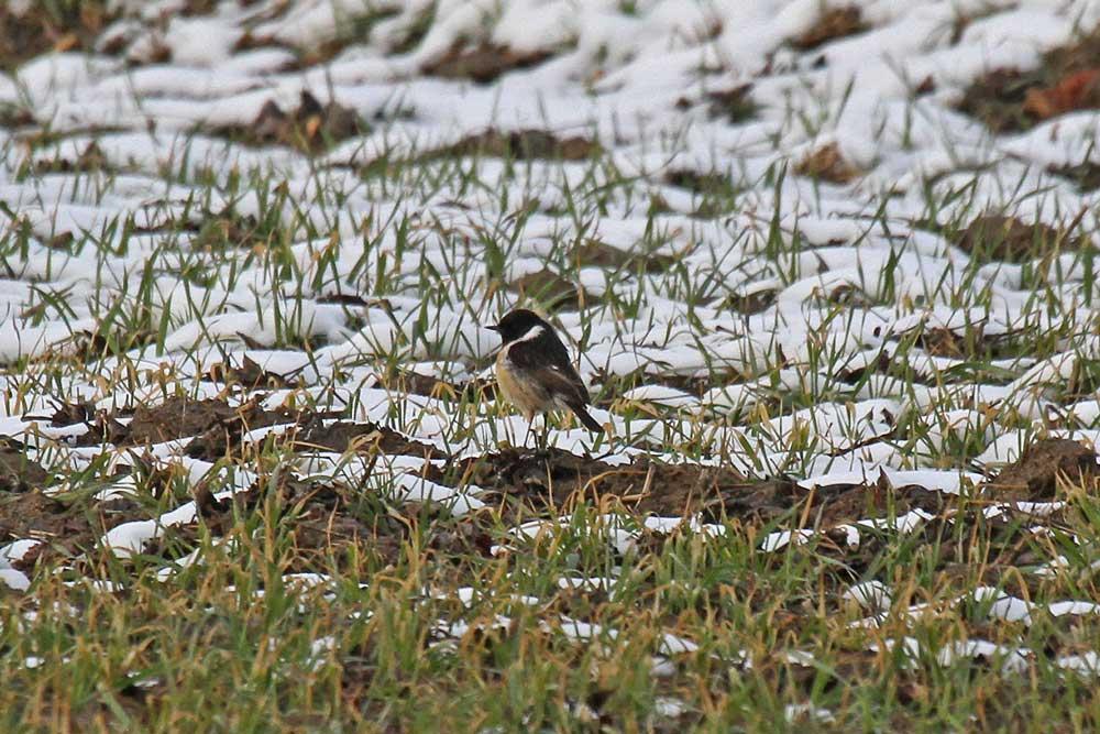Schwarzkehlchenmännchen im Schneefeld an der Kiebitzwiese...am 21.03.13 Foto: Gregor Zosel