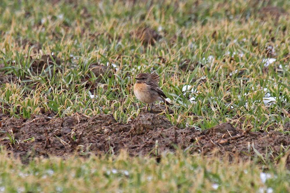 Das Weibchen ein Stückchen weiter auf einem schon aufgetautem Feldstück....am 21.03.13 Foto: Gregor Zosel