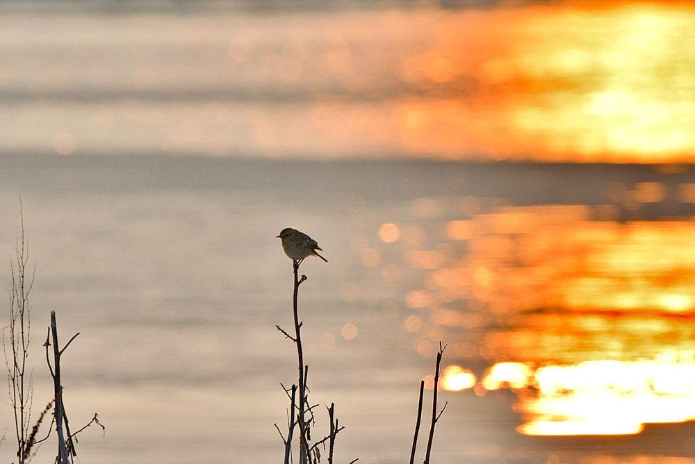 ...ein weibliches Schwarzkehlchen genießt den Sonnenaufgang... am 22.03.2013 Foto: Rüdiger Sandfort