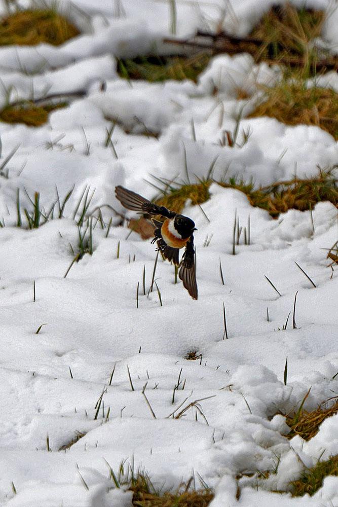 ...während das Männchen schon fleißig unterwegs ist... am 22.03.2013 Foto: Rüdiger Sandfort