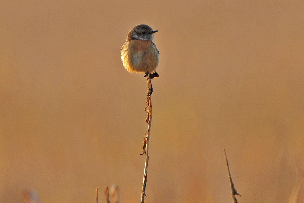 Auch das Weibchen setzt sich vor den passenden Hintergrund...am 25.03.13 Foto: Rüdiger Sandfort