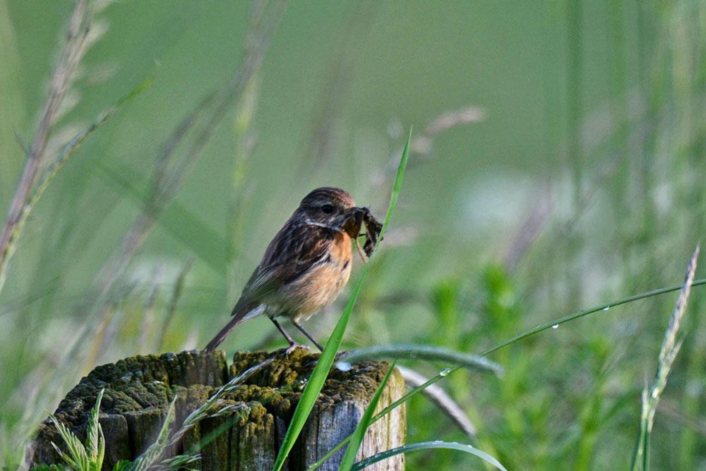 Das Weibchen mit einem Schnabel voll mit grünzeug...am 30.05.13 Foto: Rüdiger Sandfort