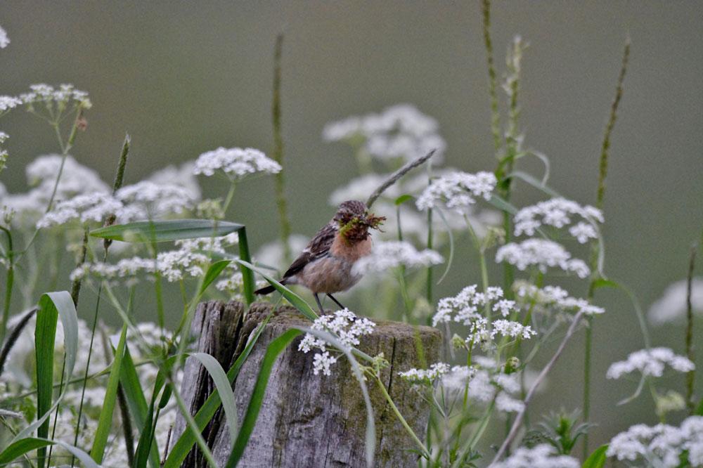 Hier wird eifrig an einem Nest gebaut...am 30.05.13 Foto: Rüdiger Sandfort