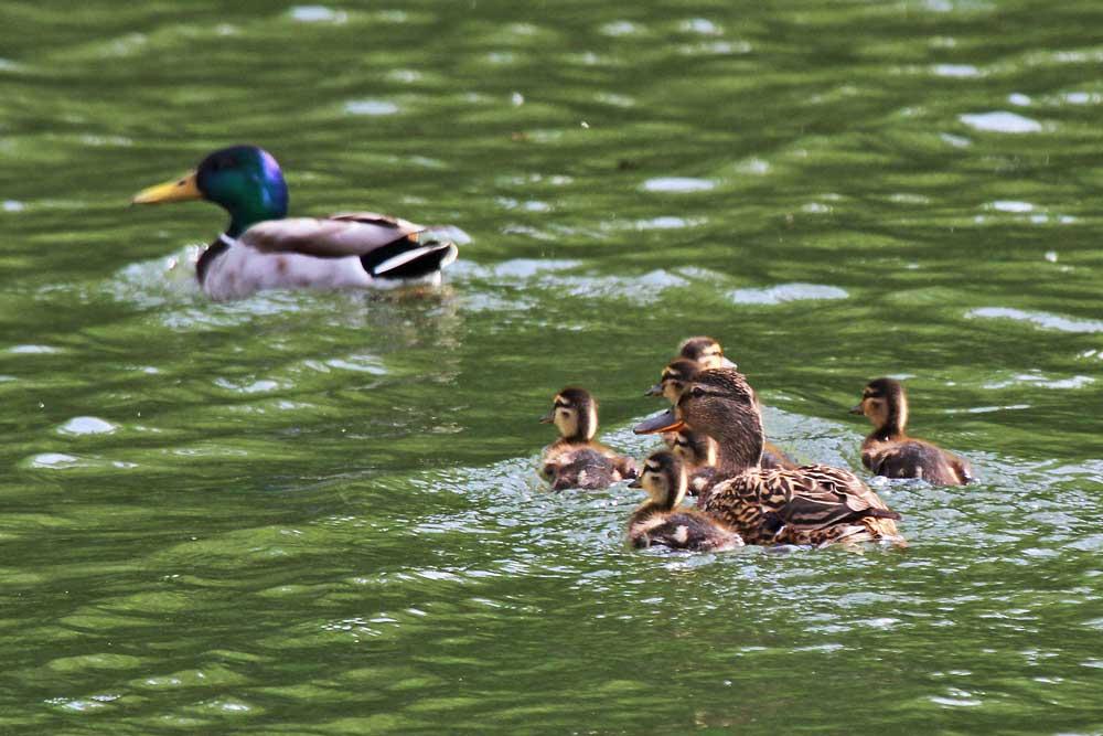 Auch auf der Ruhr schwimmt eine glückliche Familie....am 31.05.13 Foto: Gregor Zosel