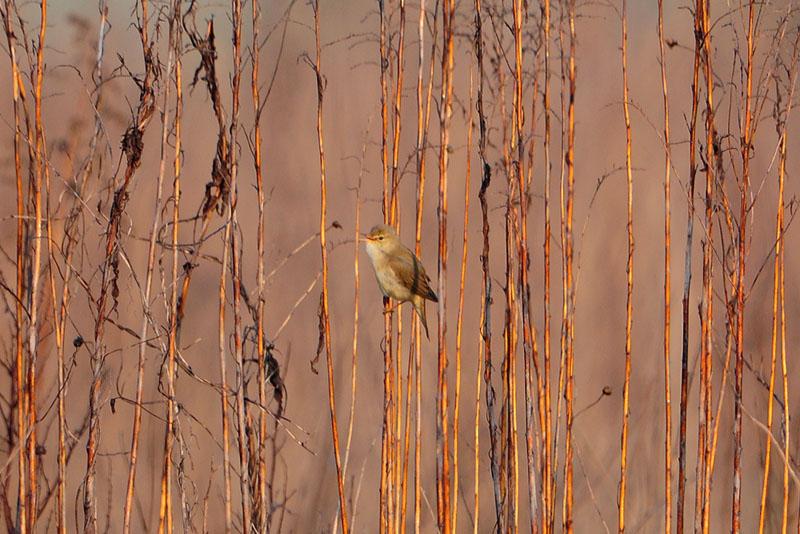 Mit aufgehender Sonne singt der Sumpfrohrsänger seine Strophen immer deutlicher am 05.05.2013 Foto: Marvin Lebeus