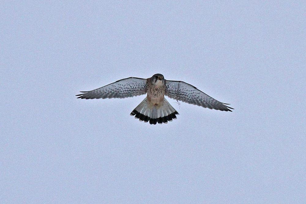 Der Rüttelflug zeigt, dass der Falke vom Fremdkörper kaum beeinträchtigt scheint....27.01.13 Foto: Gregor Zosel