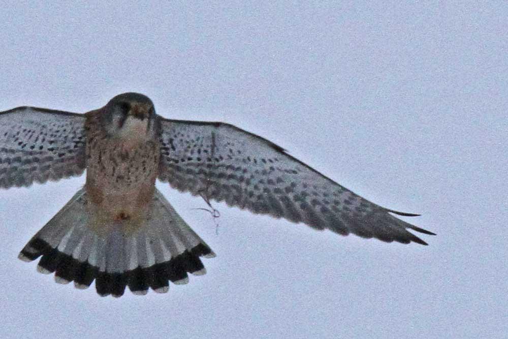 Auch eine Ausschnittsvergrößerung bringt keine Klarheit über das Material im Flügel des Turmfalken....27.01.13 Foto: Gregor Zosel
